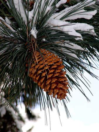 pomme de pin: Grand c�ne de pin sur larbre couvert de neige