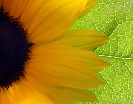 Bright Sunflower background photo