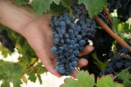 grape cluster: Hand holding grapes