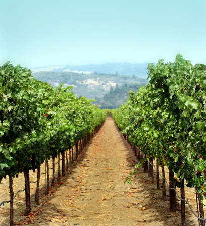 sonoma: Vineyard in Sonoma county, California Stock Photo