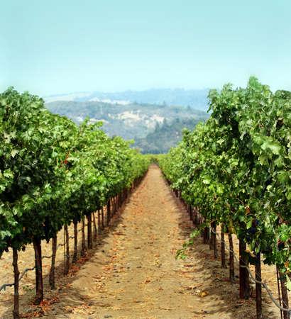 Vineyard in Sonoma county, California Stock Photo