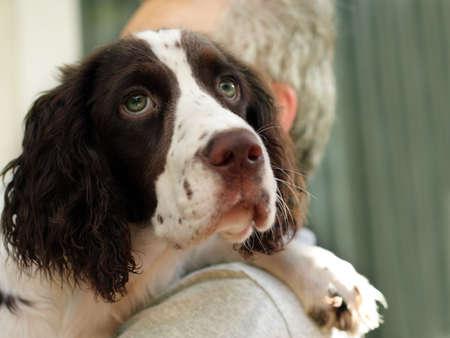 springer: Man holding his english springer spaniel dog Stock Photo
