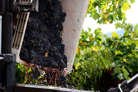 sonoma: Wine making in progress Stock Photo