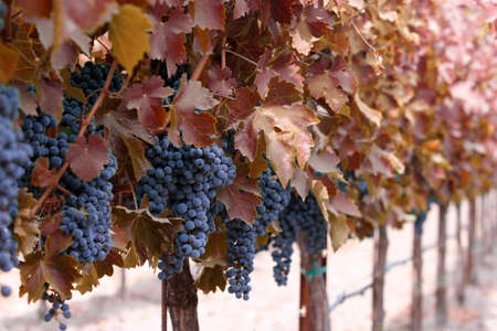 sonoma: Vines with red leaves and grape clusters