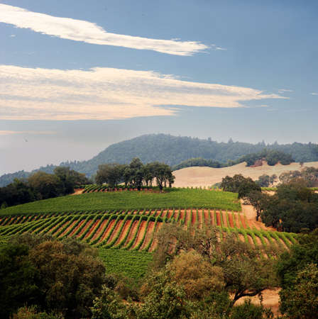View at at California hills with rows of grapes Stock Photo
