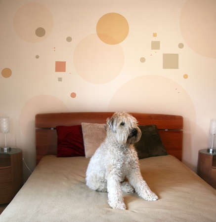 guest house: Dog sitting on a bed in modern bedroom Stock Photo