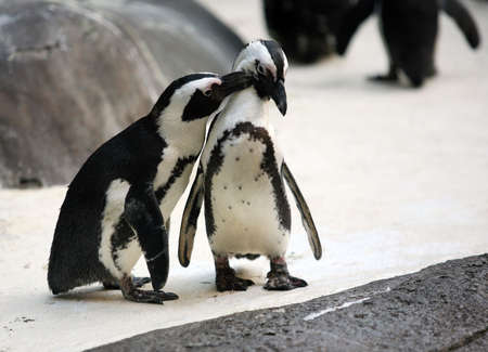 penguin: Cute affectionate penguin couple at the zoo