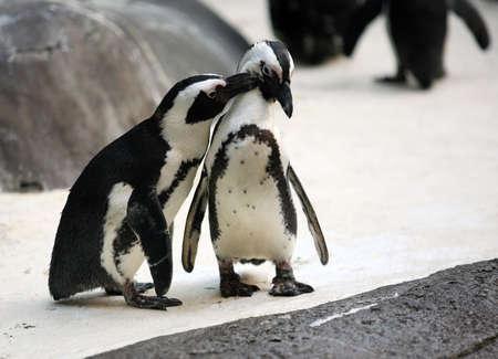 pinguins: Cute couple affectueux pingouin au zoo Banque d'images
