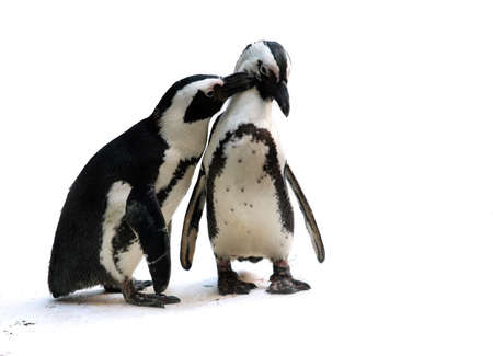 Cute affectionate penguin couple isolated