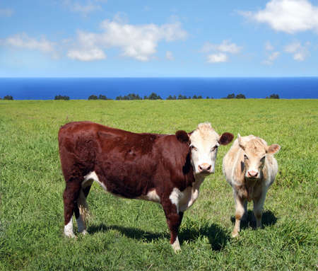 Close-up of two cows on green meadow Stock Photo