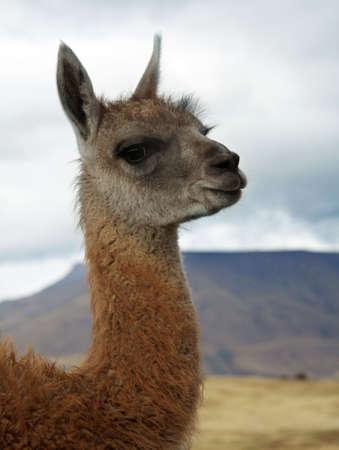 A portrait of a cute baby lama photo