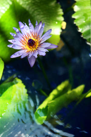 A purple water lily in a pond