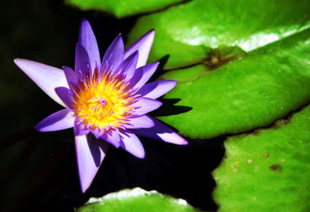 A purple water lily in a pond photo
