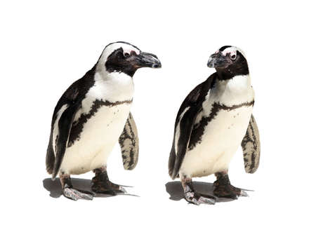 A Penguin couple on a white background photo