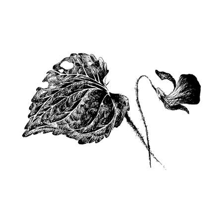 primula: Vector flower (violet) by hatching in eps, flower sketch by pen