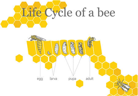 Life Cycle of a Bee vector illustration