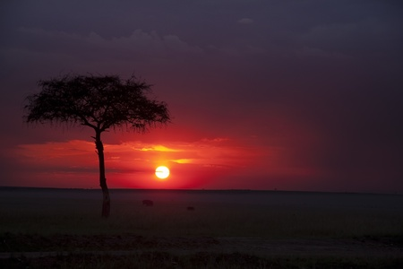 Dramatic African savanna sunset with acacia tree