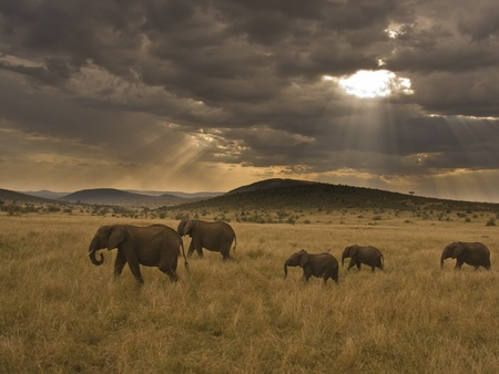 Elephants marching through savanna with sunset through hole in dark clouds