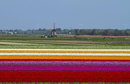 Tulipán izzó területen, amely számos színben és holland szélmalom