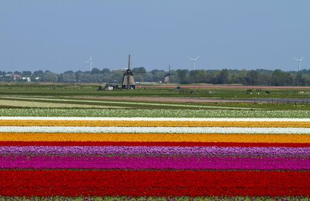 Tulips bulb field with many colors and Dutch wind mill