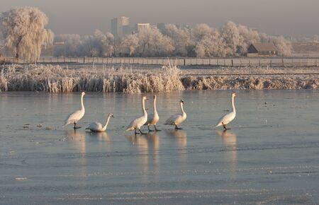 Swans walking on frozen river