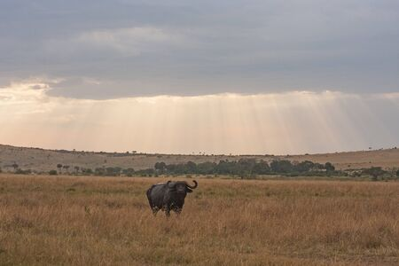 African buffalo standing alone in savannah in Kenya with sunbeams