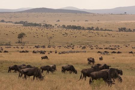 Massive állomány gnú antilop kenyai szavannák Stock fotó