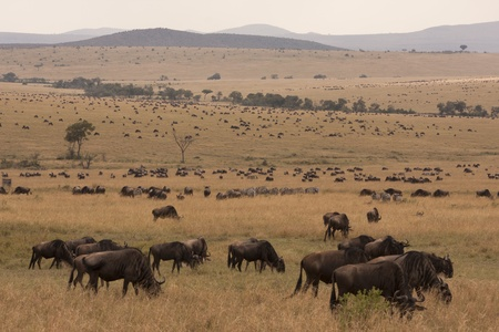 migrate: Massive herd of Wildebeest antelopes in Kenyan savannah Stock Photo