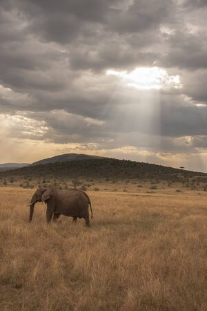 mara: Elephant marching alone with sunrays through cloudy sunset in Kenya