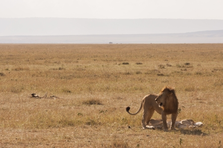 east africa: Lion guarding female after mating in Kenyan savannah