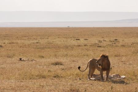 Lion guarding female after mating in Kenyan savannah