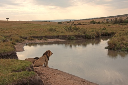 masai: Lions drinking at waterside in Maasai Mara, Kenya