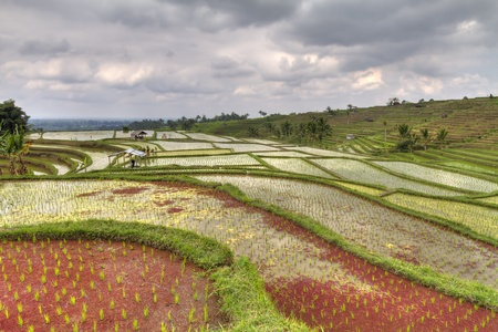 Rice paddies with red colored water on Bali