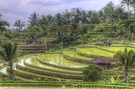 irrigated: rice fields of Jatiluwih, Bali, Indonesia