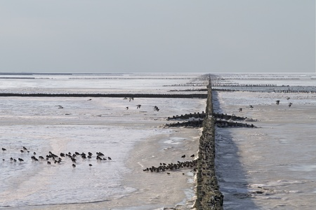 Frozen breakwaters in perpendicular pattern with seabirds in listed Wadden Sea, the Netherlands Stock Photo