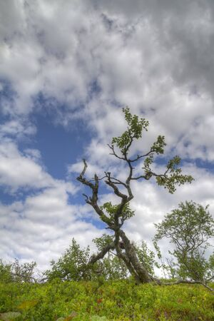 közel: nearly dead tree revives with leaves in summer foliage with clouds in Norway