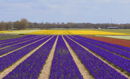 Flower bulb field with rows of purple hyacinths converging into yellow narcissus fields Stock Photo