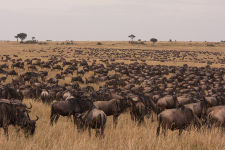 Multitude of wildebeest in grassland savannah of Maasai Mara, Kenya, East Africa