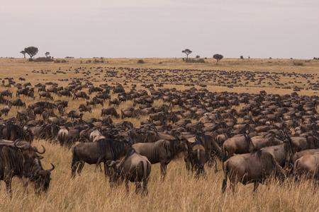 Multitude of wildebeest in grassland savannah of Maasai Mara, Kenya, East Africa