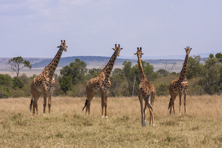 Four giraffe standing in Kenyan savanna at Maasai Mara national park