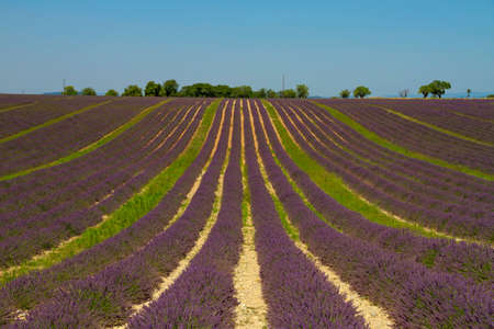 Purple  lavender on a large field in striking rows converging in vanishing point in Valensole, Provence, France Stock Photo