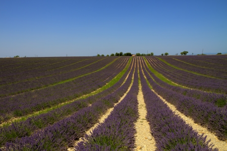 Purple  lavender with farm on a large field in striking rows converging in vanishing point in Valensole, Provence, France