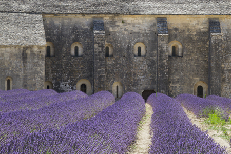Purple lavender fields with close up of the medieval Senanque abbey, a Cistercian abbey near Gordes in Provence, France