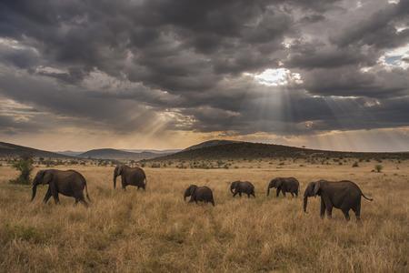 Famille d'éléphants marchant à travers la savane au crépuscule Banque d'images - 27677235