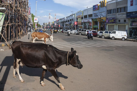 Holy cow about to cross main street with shops in Mysore, an south Indian town in Karnataka state