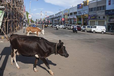 Szent tehén átlépni főutcán üzletek Mysore, egy dél-indiai városban Karnataka állam