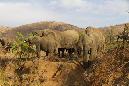 Big male elephant carefully descending a steep, sandy slope as family members of herd watch in Pilanesberg National Park in South Africa