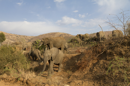 Young elephant carefully descending a steep, sandy slope as family members of herd watch in Pilanesberg National Park in South Africa