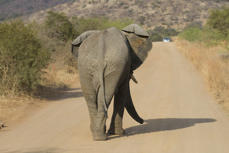 Big male elephant marching solo on a road to a far destination in Pilanesberg National Park in South Africa