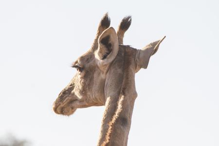 Close-up of giraffe head seen from behind
